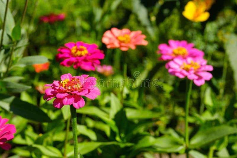 Tsiniya floresce o roxo e o fundo borrado rosa no verde, e o jardim imagens de stock royalty free