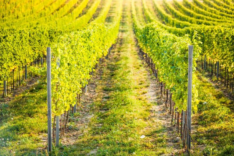 Tsjechisch detail van wijngaard in Palava, royalty-vrije stock fotografie