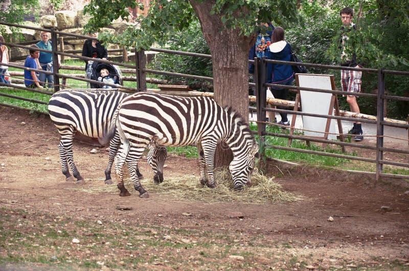 Tsjechische Republiek praag De Dierentuin van Praag Zebras 12 juni, 2016 royalty-vrije stock afbeelding