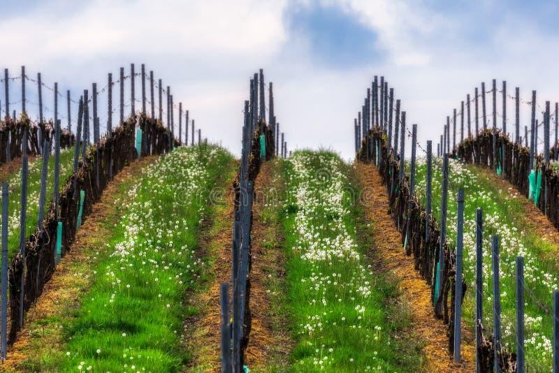 Tsjechische Republiek Zuid- Moravië Wijngaarden in de lente royalty-vrije stock foto's