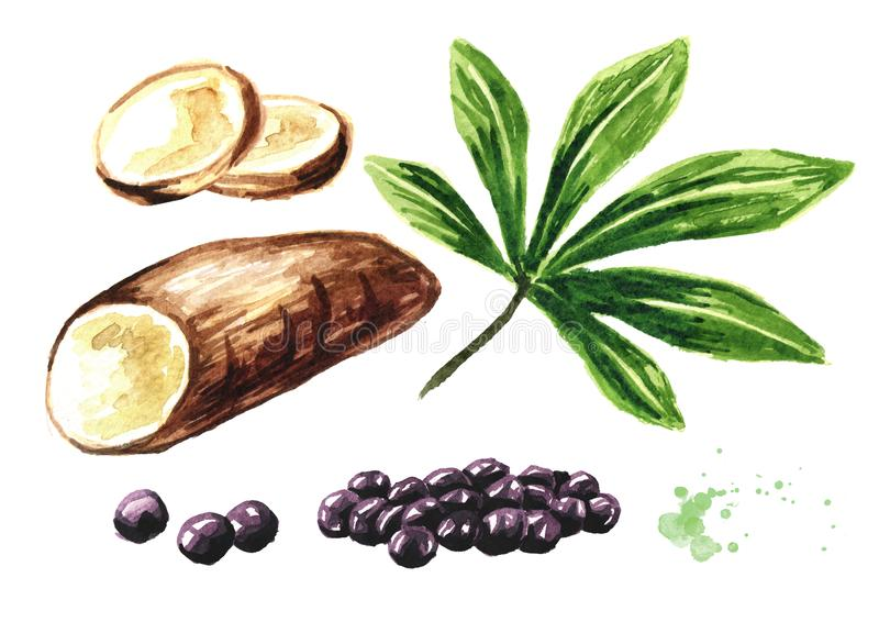 Ttapioca-Perlen und Manihotwurzelsatz Superfood-Konzept Gezeichnete Illustration des Aquarells Hand lokalisiert auf wei?em Hinter stock abbildung