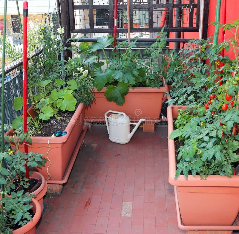 Ttomato växter och en guling som bevattnar kan på terrassen av aet arkivbild