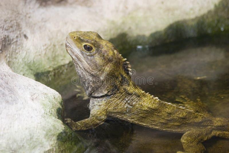 tuatara 01 стоковая фотография