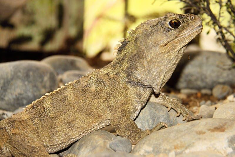 Tuatara, punctatus dello Sphenodon, fossile vivente raro, Nuova Zelanda fotografie stock libere da diritti