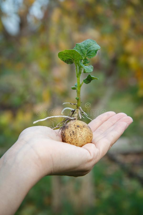 Tubérculo brotado de la patata con las hojas verdes en la mano de la mujer imagen de archivo