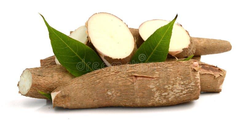 Tubérculo cru da mandioca - Manihot esculenta Orgânico, tapiocas fotografia de stock