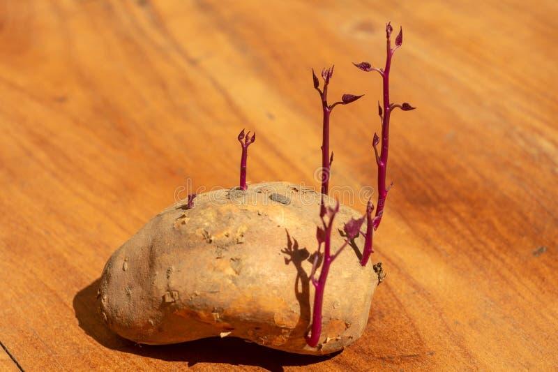 Tubérculo de la germinación de la patata dulce fotos de archivo