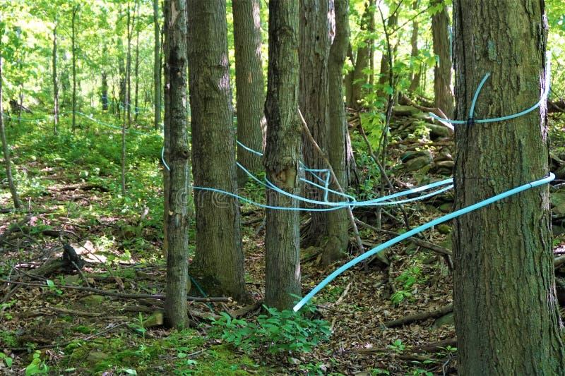 Tubérculos de borracha, árvores de mapeamento em bosque imagens de stock