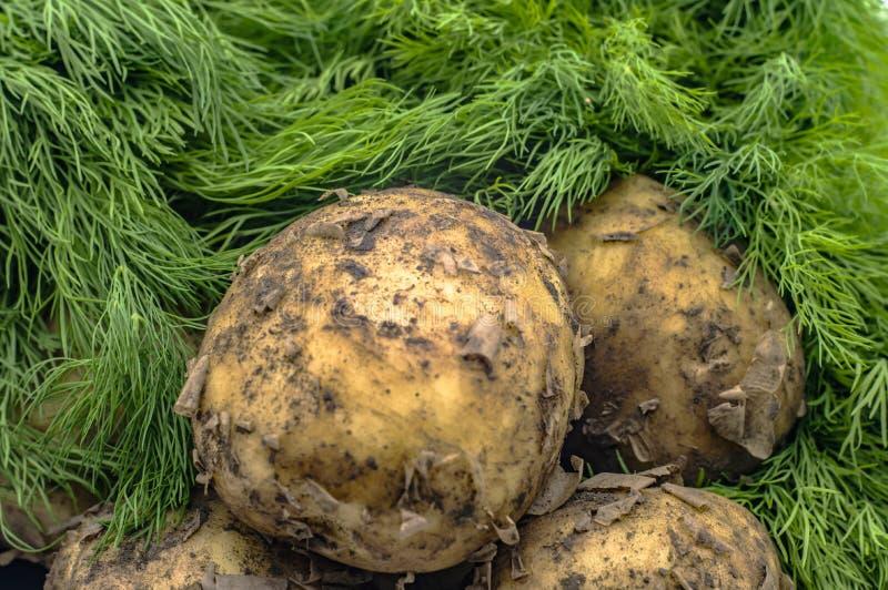 Tubérculos orgánicos de la patata y primer verde del eneldo foto de archivo libre de regalías