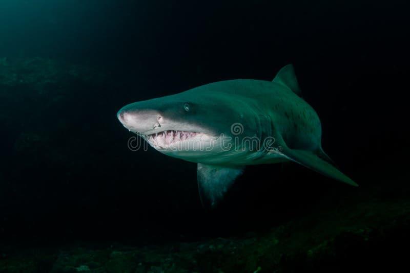 Tubarão áspero do dente no banco de areia de Aliwal, África do Sul foto de stock
