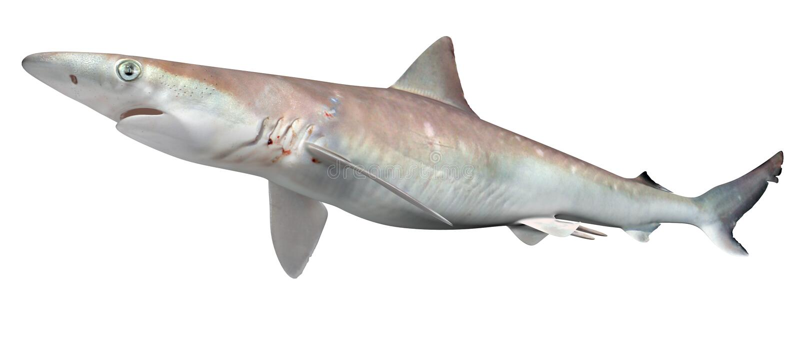 Tubarão atlântico de Sharpnose ilustração stock