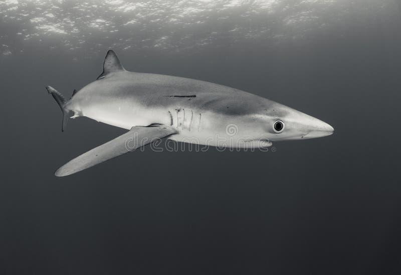 Tubarão azul fotos de stock