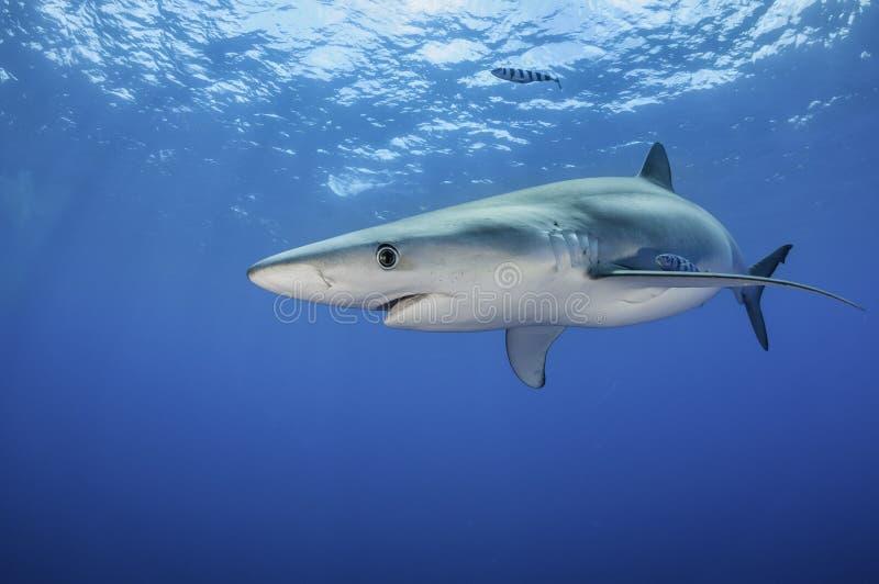Tubarão azul foto de stock royalty free