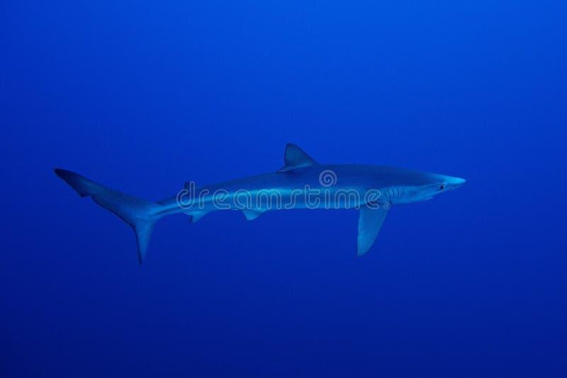 Tubarão azul (glauca do Prionace) fotos de stock