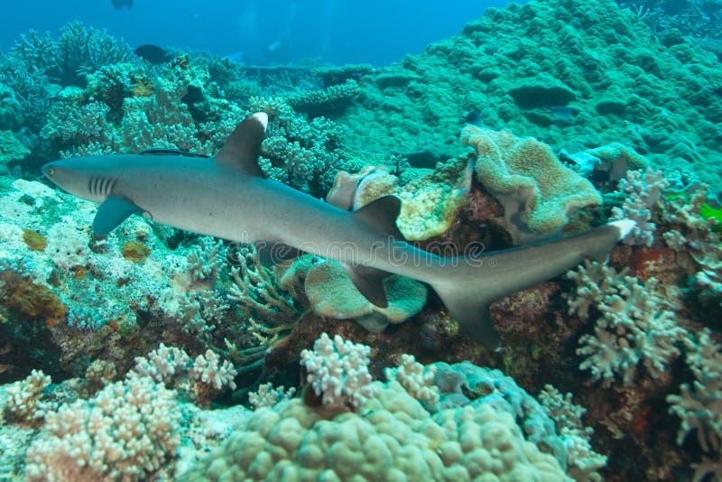 Tubarão branco do recife da ponta, Fiji imagem de stock