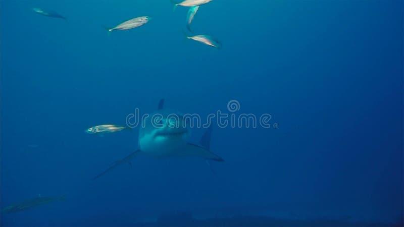 Tubarão branco/grande tubarão branco na água azul profunda imagens de stock royalty free