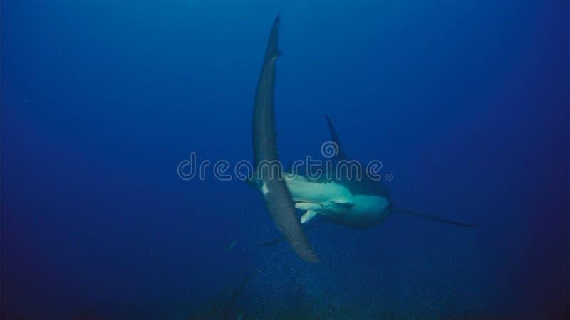 Tubarão branco/grande tubarão branco na água azul profunda fotografia de stock