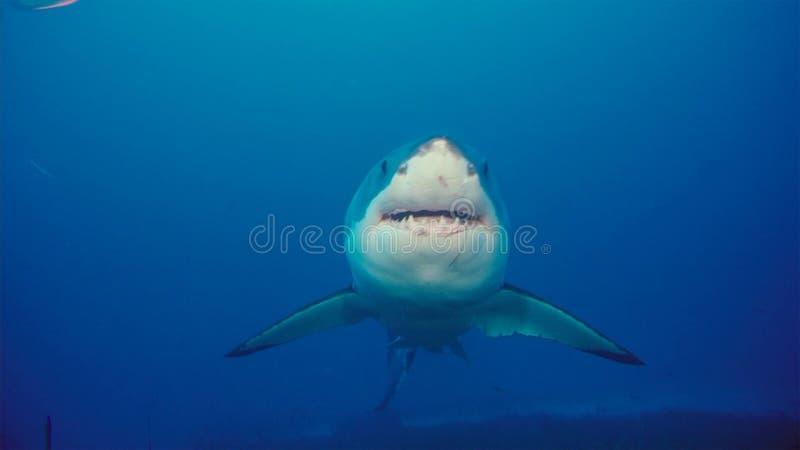 Tubarão branco/grande tubarão branco na água azul profunda imagem de stock royalty free