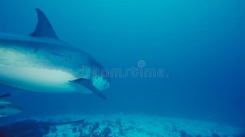 Tubarão branco/grande tubarão branco na água azul profunda fotos de stock