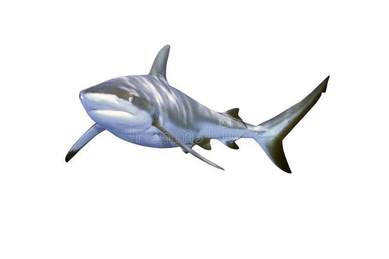Tubarão cinzento do recife fotografia de stock