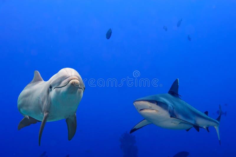 Tubarão cinzento e golfinho subaquáticos imagem de stock