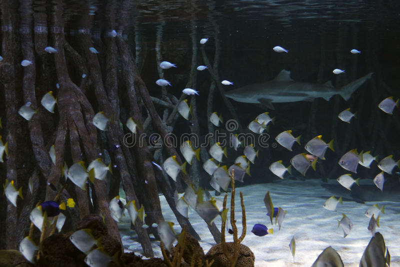 Tubarão com peixes ao redor e vegetação ao redor fotografia de stock
