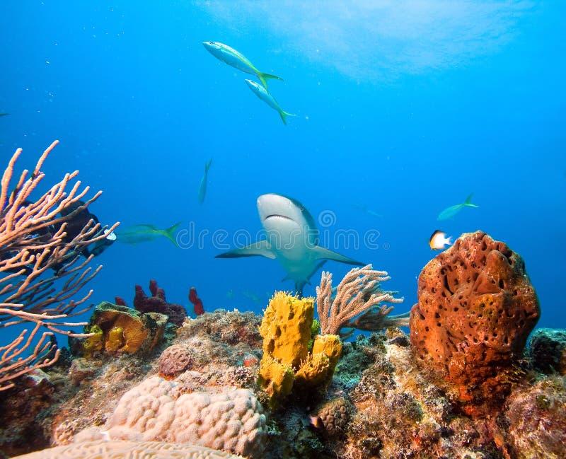 Tubarão das caraíbas do recife fotografia de stock royalty free