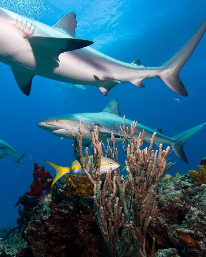 Tubarão das caraíbas do recife imagens de stock royalty free