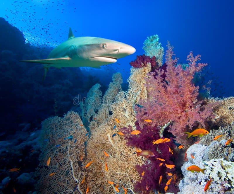 Tubarão das caraíbas do recife imagens de stock