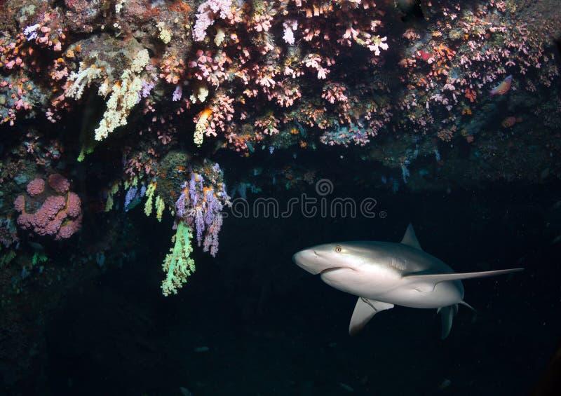 Tubarão das caraíbas do recife na caverna imagem de stock royalty free