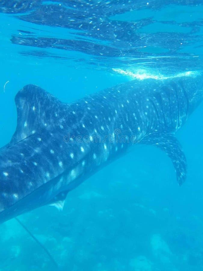 Tubarão de baleia fotos de stock