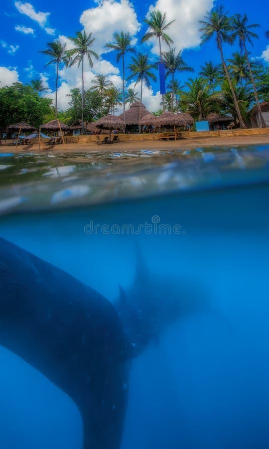Tubarão de baleia abaixo fotos de stock royalty free
