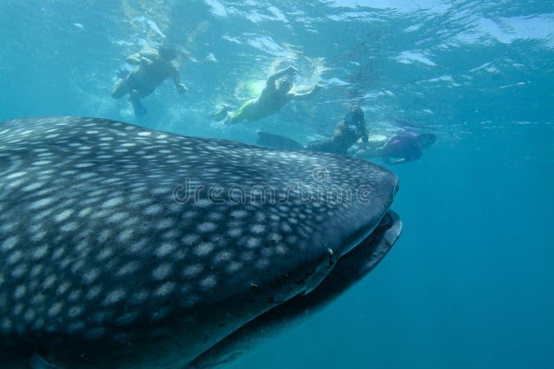 Tubarão de baleia amigável imagens de stock royalty free