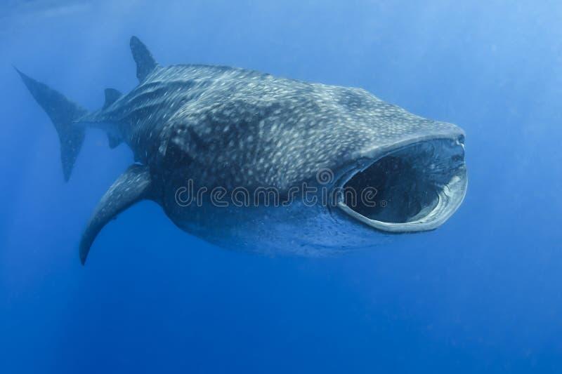Tubarão de baleia com a boca aberta que alimenta em Tuna Eggs fotos de stock royalty free