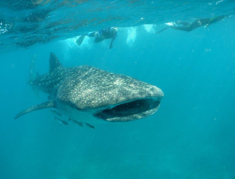 Tubarão de baleia com snorkelers fotografia de stock royalty free