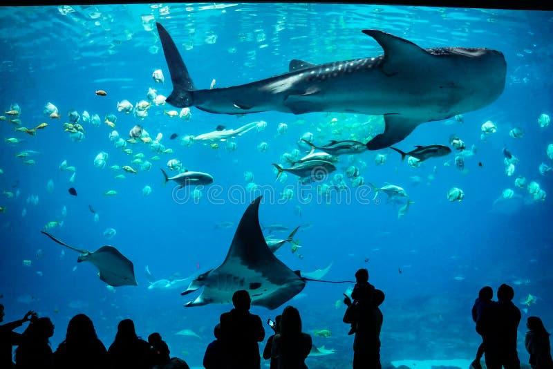Tubarão de baleia e raio de manta em Georgia Aquarium fotos de stock