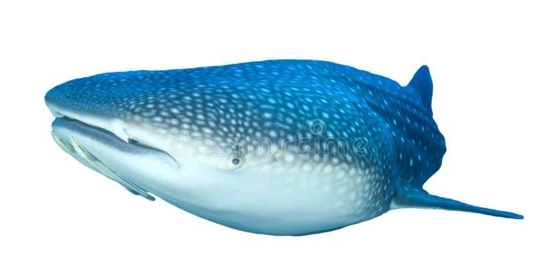 Tubarão de baleia isolado foto de stock