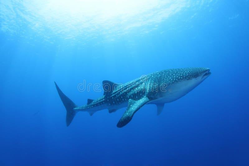 Tubarão de baleia no Mar Vermelho fotos de stock