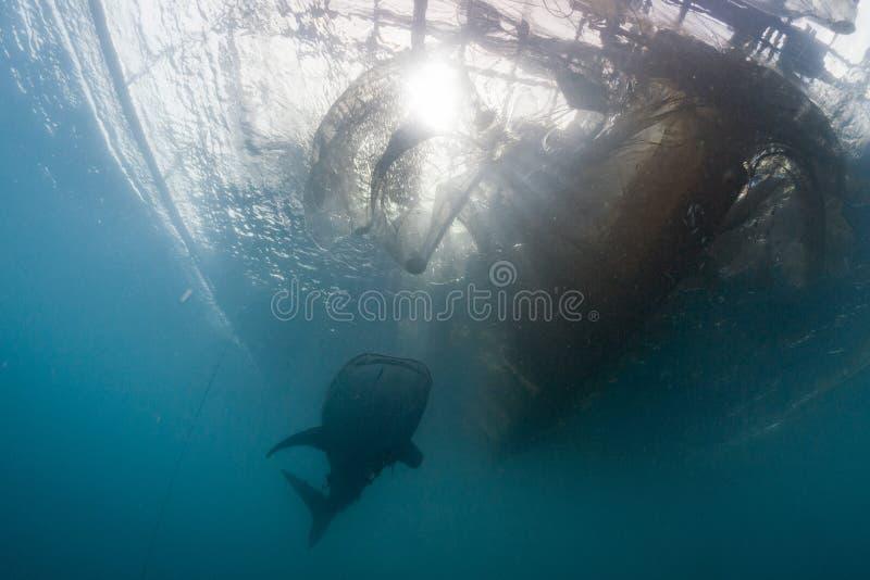 Tubarão de baleia sob a plataforma dos pescadores em Papua fotografia de stock