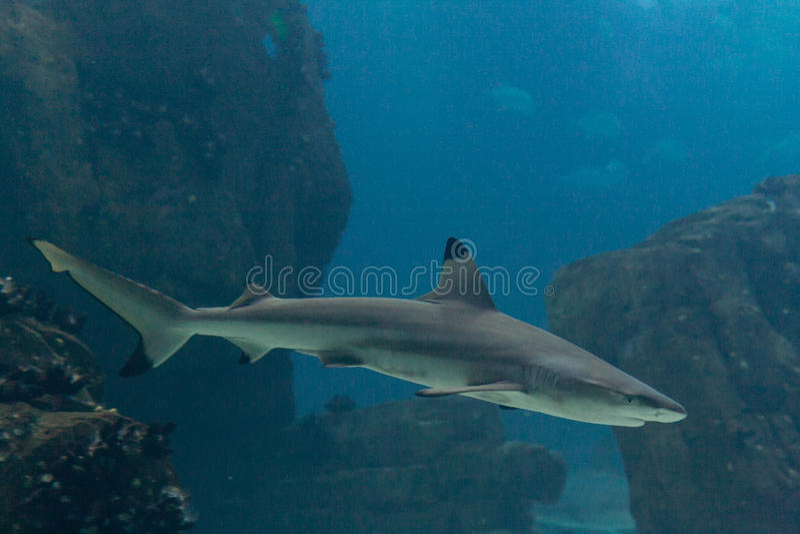 Tubarão de Blacktip foto de stock royalty free