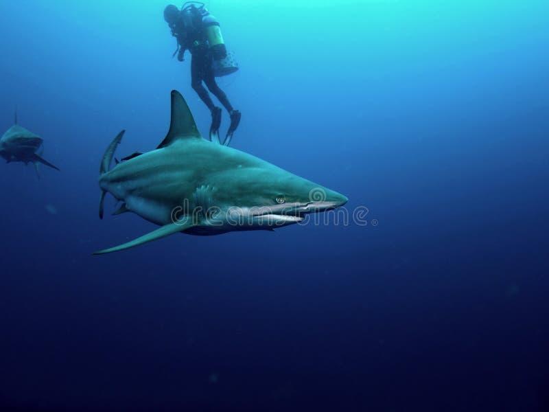 Tubarão de Blacktip e tubarão de Bull imagem de stock royalty free