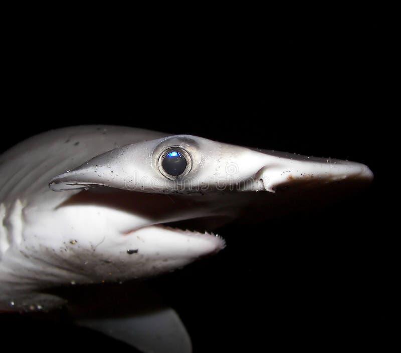Tubarão de Bonnethead imagens de stock royalty free