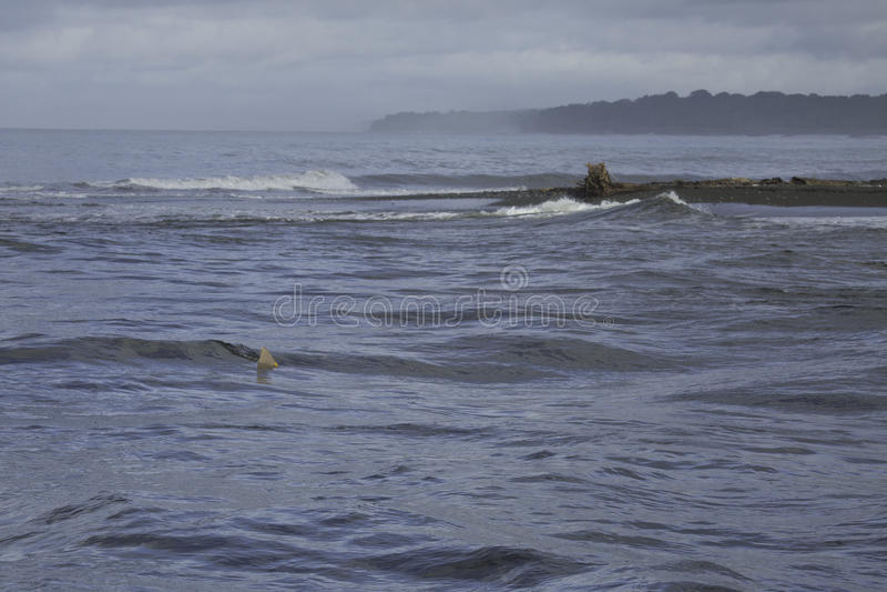 Tubarão de Bull na boca de Sirena River, parque nacional de Corcovado, Osa Peninsula, Costa Rica foto de stock royalty free
