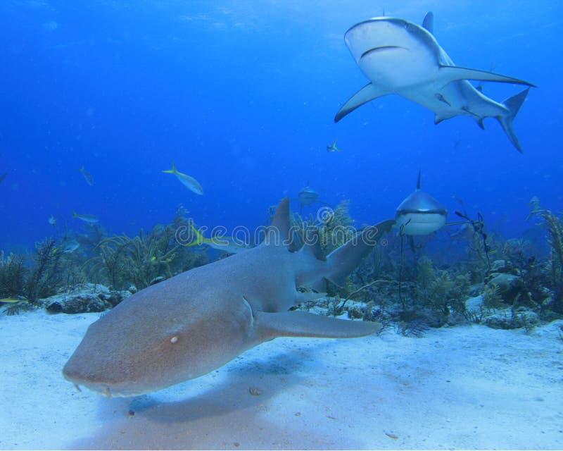 Tubarão de enfermeira e tubarão do Cararibe do recife imagem de stock