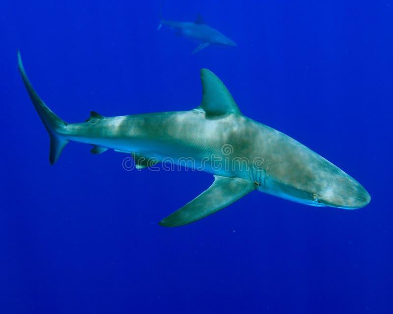 Tubarão de Galápagos foto de stock