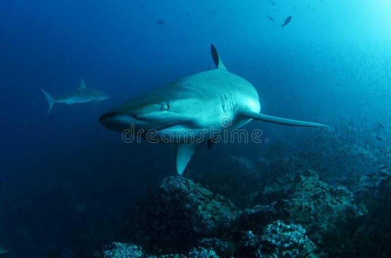 Tubarão de Galápagos fotografia de stock royalty free