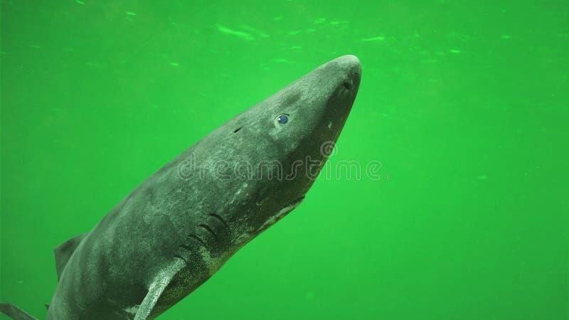 Tubarão de Gronelândia, microcephalus de Somniosus da criatura do oceano do mar profundo imagem de stock royalty free