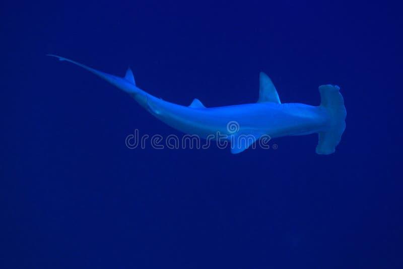 Tubarão de Hammerhead fotos de stock