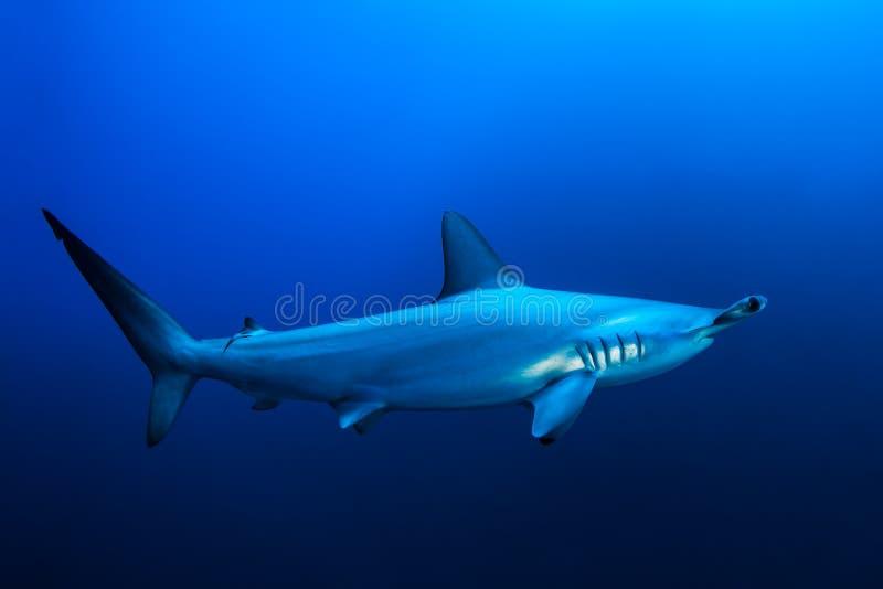Tubarão de hammerhead Scalloped fotografia de stock