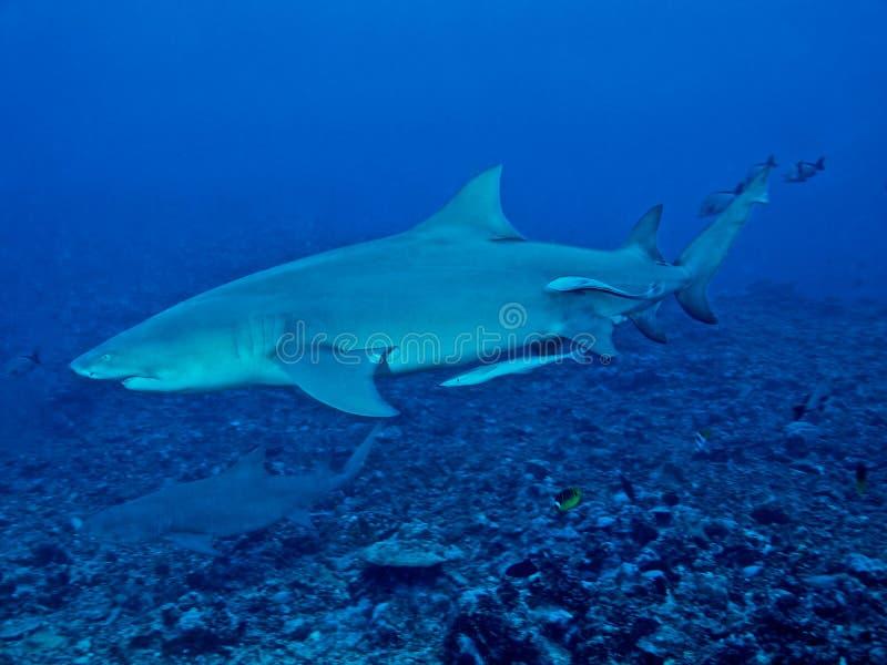 Download Tubarão De Limão (brevirostris Do Negaprion) Imagem de Stock - Imagem de curso, aventura: 16851841